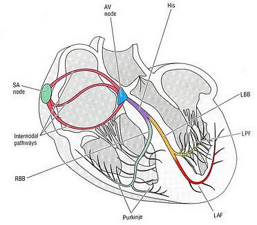 مروری بر الکتروفیزیولوژی قلب